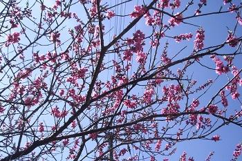 桃の花15