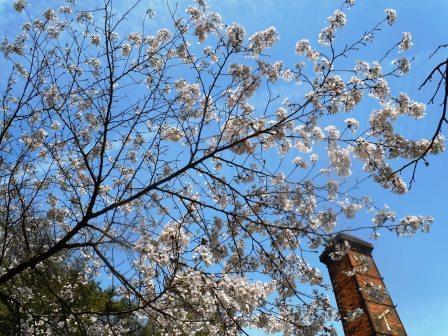 桜満開4〈2016-04-02)