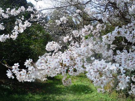 桜満開5〈2016-04-02)