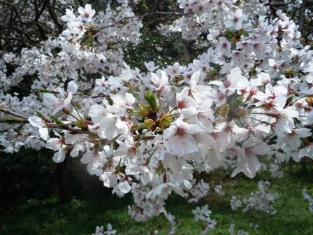 桜満開8〈2016-04-02)