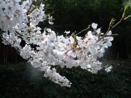 桜満開9〈2016-04-02)