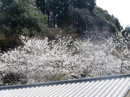 桜満開10〈2016-04-02)