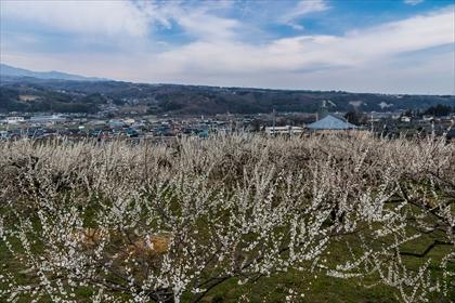 2016-3-18 榛名梅林07 (1 - 1DSC_0018)_R