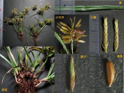 カヤツリグサ科sp.の詳細