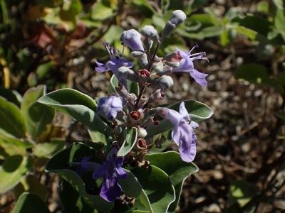 ハマゴウの花
