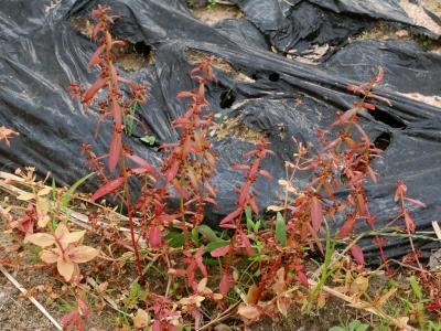 紅葉したヒメミソハギ