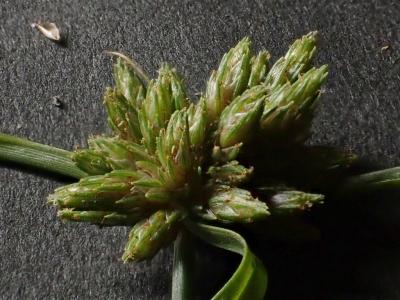 オオシロガヤツリの花序