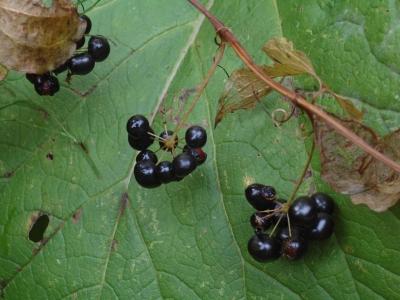 タチシオデの果実