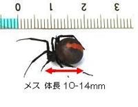 セアカゴケグモサイズ