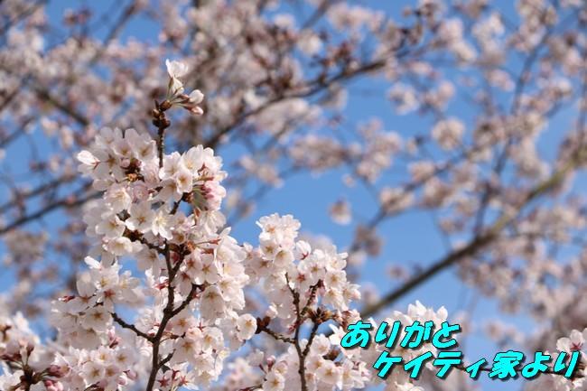 明石城公園桜2016 232