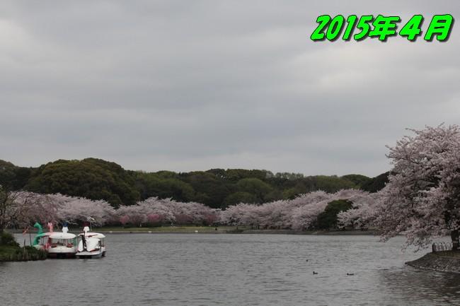 明石公園 桜 017