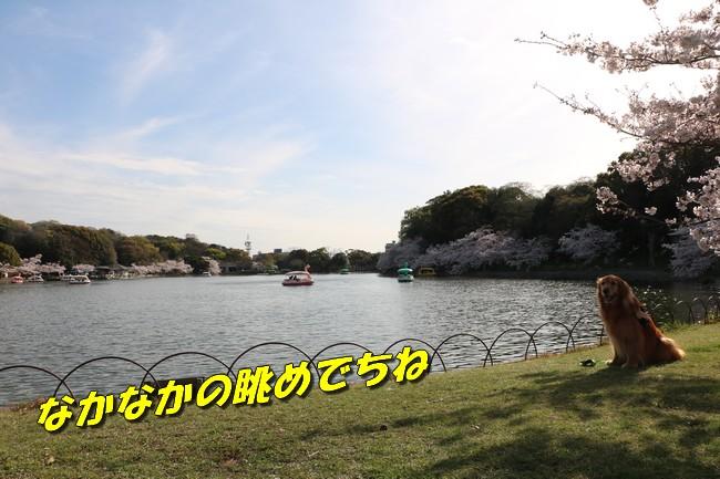 明石城公園桜2016 209
