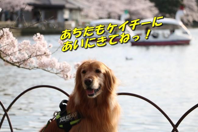 明石城公園桜2016 255