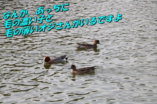 明石城公園桜2016 297