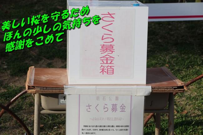 明石城公園桜2016 406