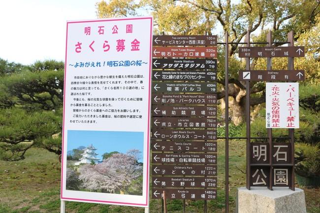 明石城公園桜2016 409