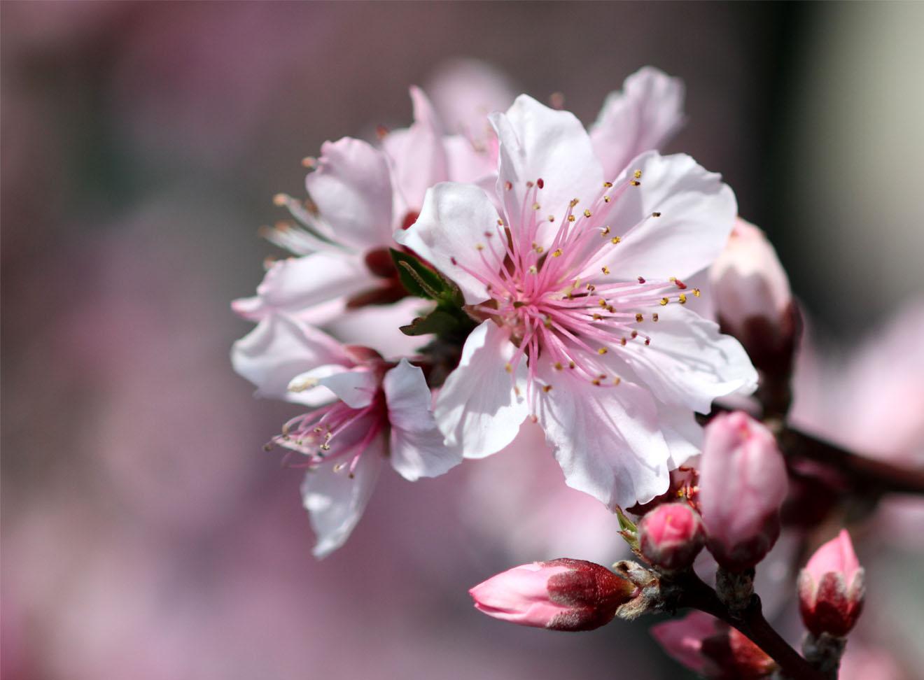 3月31日の桃模様(8)