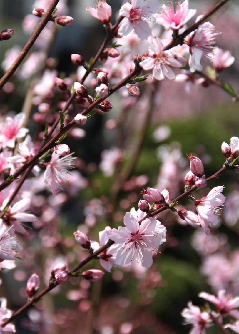 3月31日の桃模様(9)