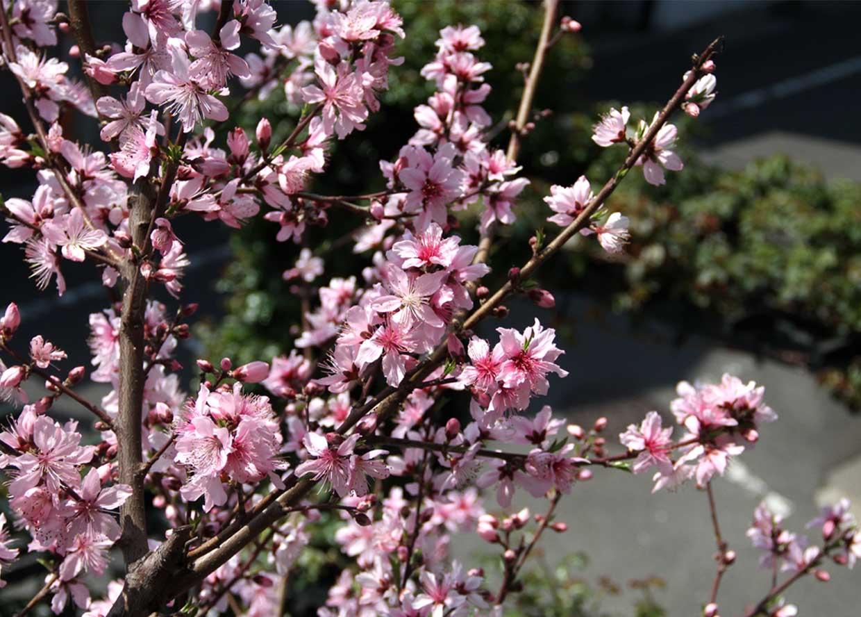 3月31日の桃模様(10)