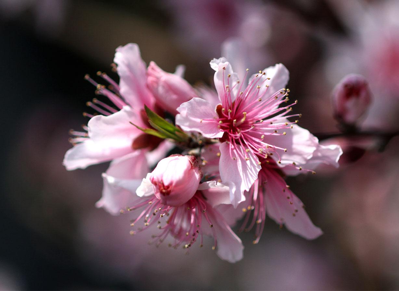 3月31日の桃模様(13)