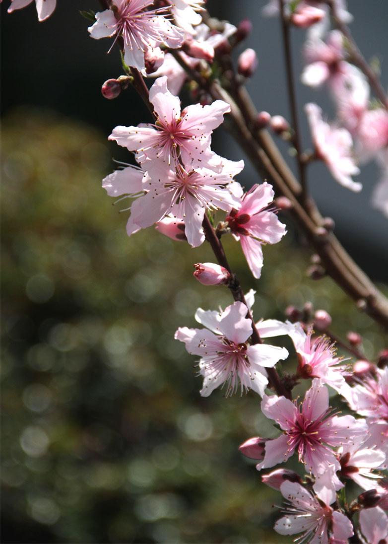3月31日の桃模様(14)