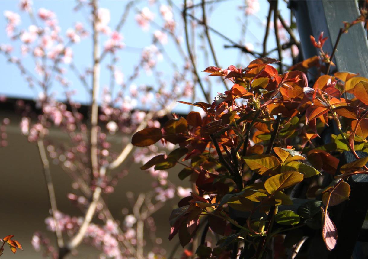 3月31日のバラと桃(3)