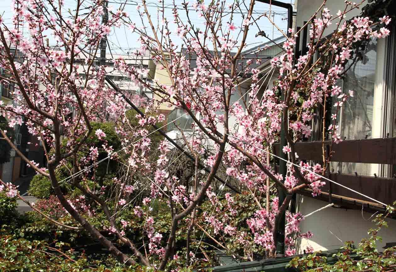 3月31日のバラと桃(4)