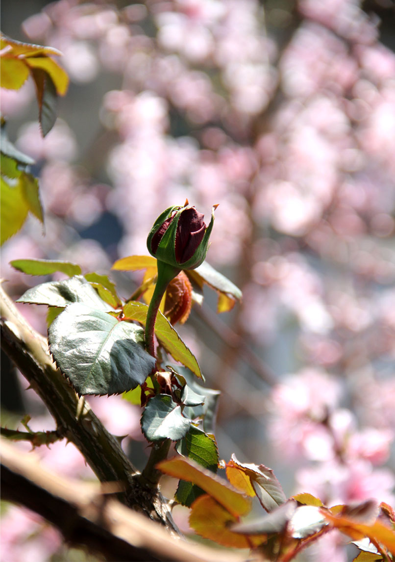 3月31日のバラと桃(5)