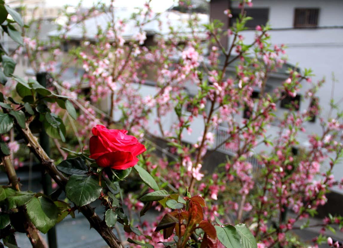 4月9日の一番花(4)
