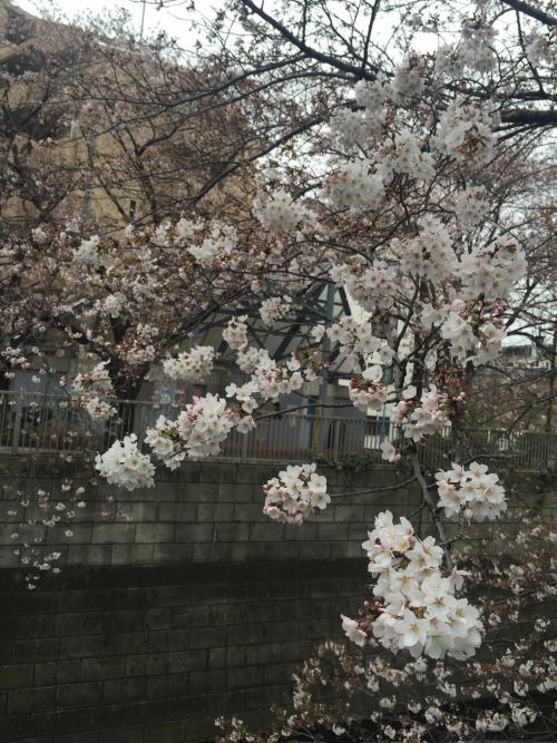20160330sakura1.jpg