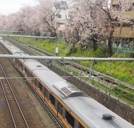 ひがしなかのEKIHIROフェスタ桜実景1