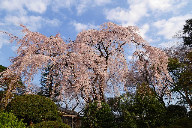 2016-03-26 中院しだれ桜 039