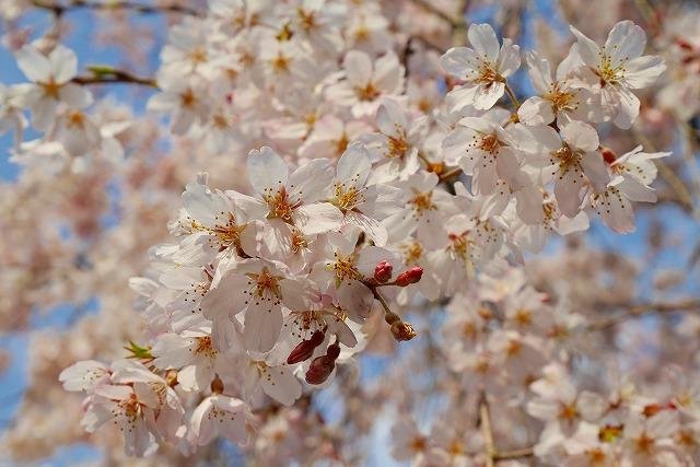 2016-03-26 中院しだれ桜 042