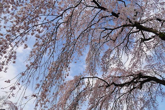2016-03-26 中院しだれ桜 009