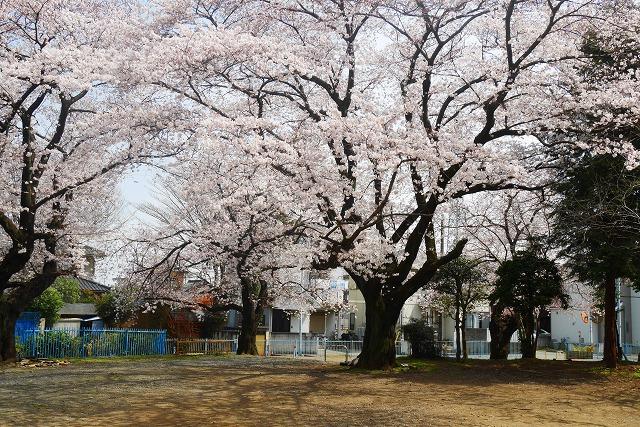 2016-03-31 川越の桜 069