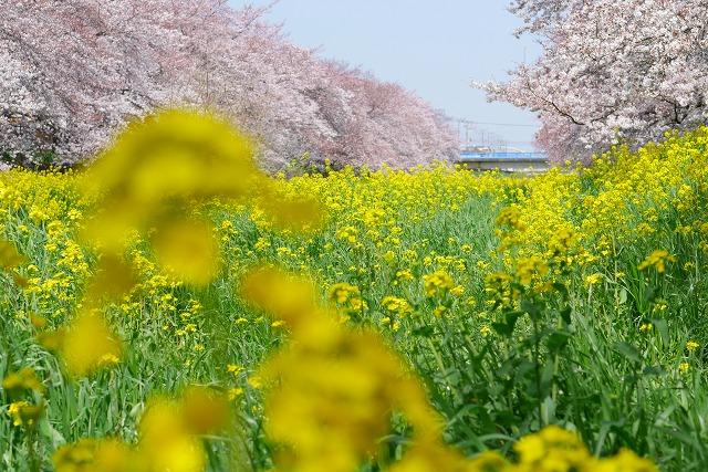 2016-03-31 川越の桜 028