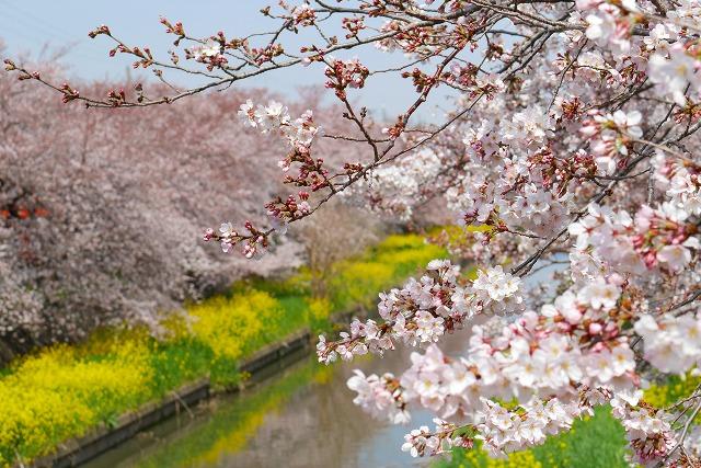 2016-03-31 川越の桜 015
