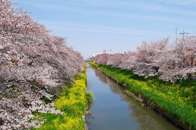 2016-03-31 川越の桜 007