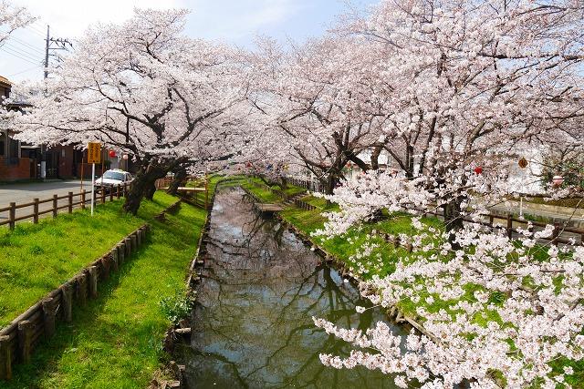 2016-03-31 川越の桜 095