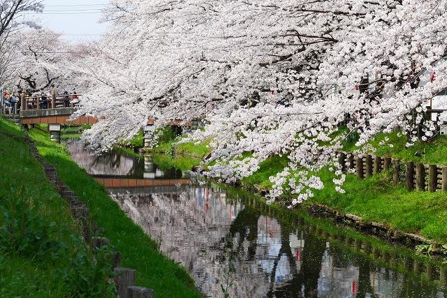 2016-03-31 川越の桜 083