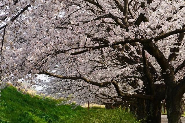 2016-04-06 川越 桜 072