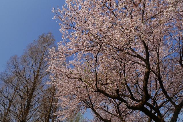 2016-04-06 川越 桜 027