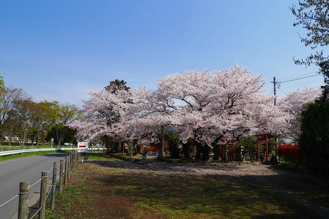2016-04-06 川越 桜 128