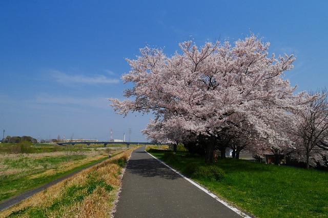 2016-04-06 川越 桜 234