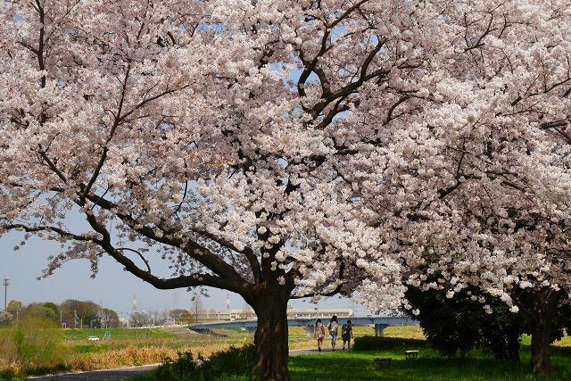 2016-04-06 川越 桜 240