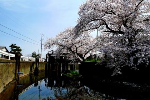 2016-04-06 川越 桜 275