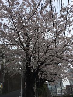 花房山の桜①