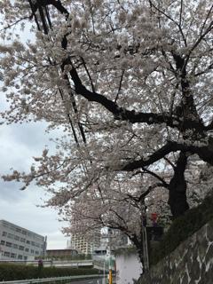 花房山の桜②