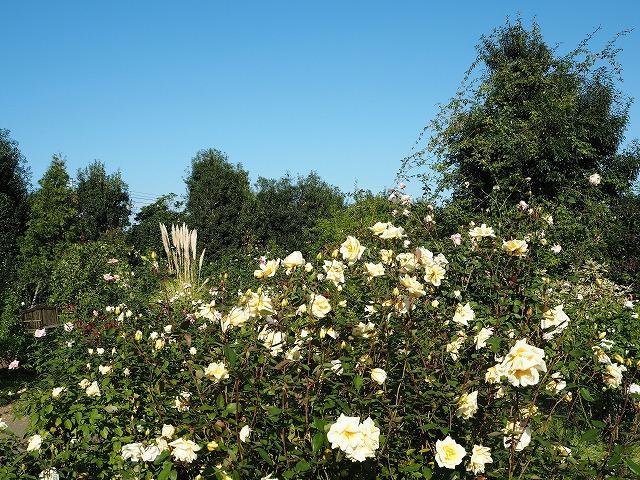 PA140015花菜ガーデン