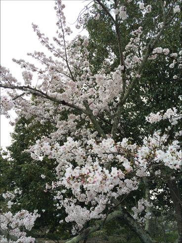 2016 04 桜1